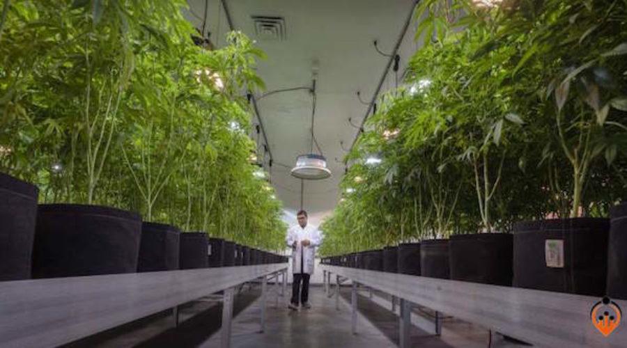 American Cannabis Social Media Lead