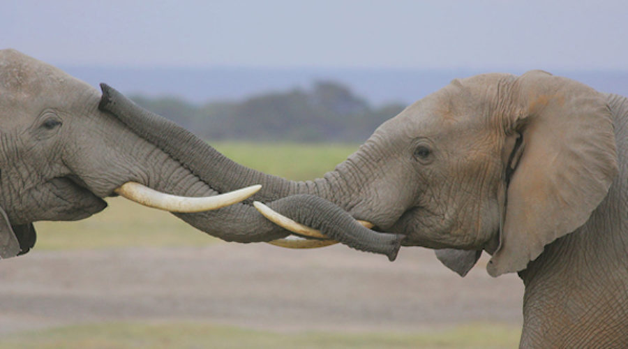Filmmaker Seeks PR to Protect Africa's Elephants (free to see)